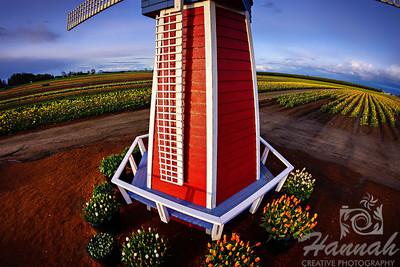 Windmill at the Wooden Shoe Tulip Farm in Woodburn, OR  © Copyright Hannah Pastrana Prieto