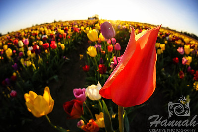 Close-up of a red orange tulip taken at Wooden Shoe Tulip Farm in Woodburn, OR  © Copyright Hannah Pastrana Prieto