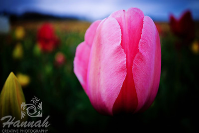Close-up of a pink tulip taken at Wooden Shoe Tulip Farm in Woodburn, OR  © Copyright Hannah Pastrana Prieto