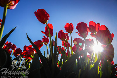 Red tulips in backlighting and low angle shot taken at Wooden Shoe Tulip Farm in Woodburn, OR  © Copyright Hannah Pastrana Prieto