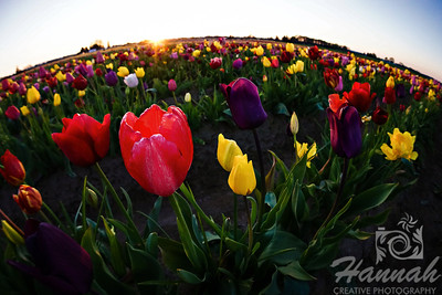Close-up of colorful tulips taken at Wooden Shoe Tulip Farm in Woodburn, OR  © Copyright Hannah Pastrana Prieto