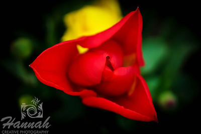 Close-up of the top of a red tulip taken at Wooden Shoe Tulip Farm in Woodburn, OR  © Copyright Hannah Pastrana Prieto
