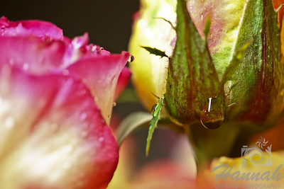 Roses with water droplets  © Copyright Hannah Pastrana Prieto