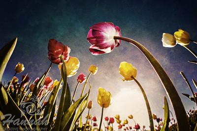 Textured image of colorful tall tulips in low angle shot and backlighting taken at Wooden Shoe Tulip Farm in Woodburn, OR  © Copyright Hannah Pastrana Prieto
