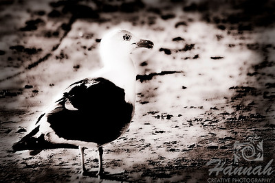 A seagull on the shore.  Shot at Cannon Beach, Oregon Coast.  © Copyright Hannah Pastrana Prieto