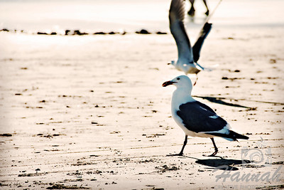 View of the beach with seagulls on the shore.  Shot at Cannon Beach, Oregon Coast.  © Copyright Hannah Pastrana Prieto