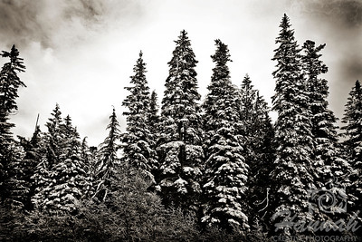 Snowy pine trees in black and white  Location: Mt.Hood, Government Camp, Oregon  © Copyright Hannah Pastrana Prieto