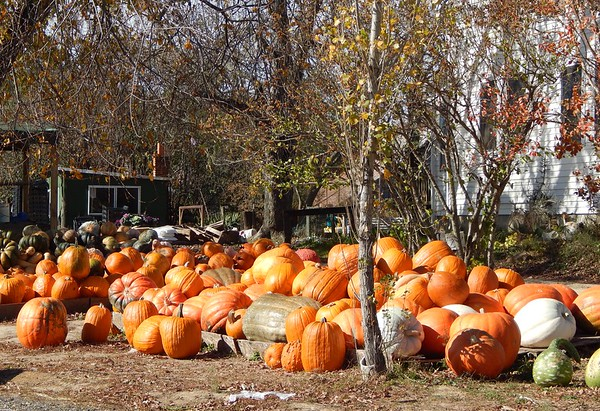 Amish Pumpkins