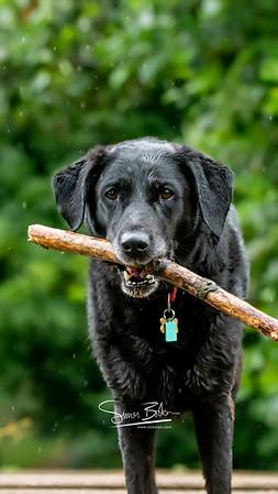 """Millie"" - Black Labrador"