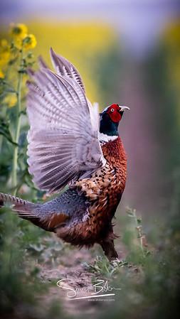 Pheasant Shapes