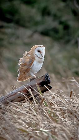 Barn Owl Watches