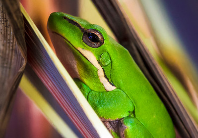 Green Frog by Cheryl Cotton