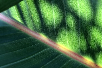 Backlit Leaf  by Elisa Bond