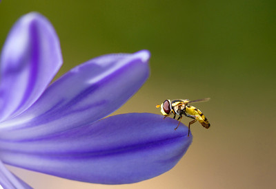 Hoverfly on Agapanthus Petal by Cheryl Cotton