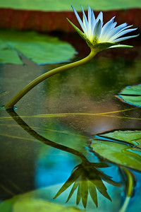 Waterlily 2 by Gioia Small