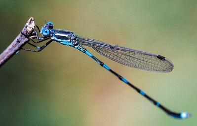 Damselfly Resting by Cheryl Cotton