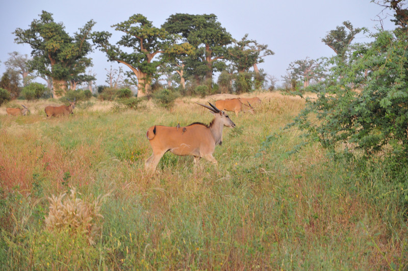 Birds go for a ride - Bandi Animal Reserve near Saly, Senegal