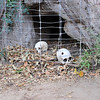 Skulls from inside a Baobab tree grave - Bandia Animal Reserve near Saly, Senegal