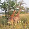 Giraffe rear ends - Bandi Animal Reserve near Saly, Senegal