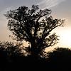 Baobab tree, Senegal at dusk