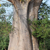 Baobab tree - lives up to 2,000 years