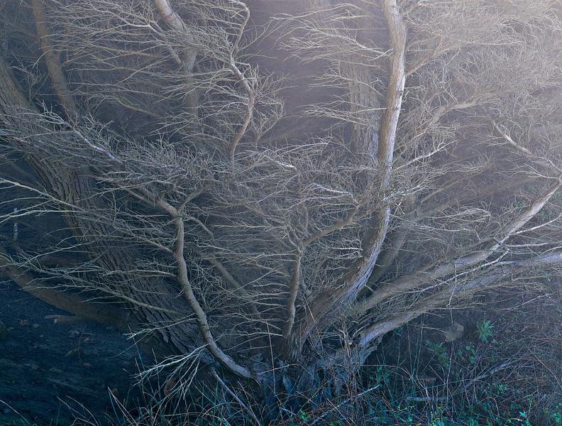 Cypress in Mist
