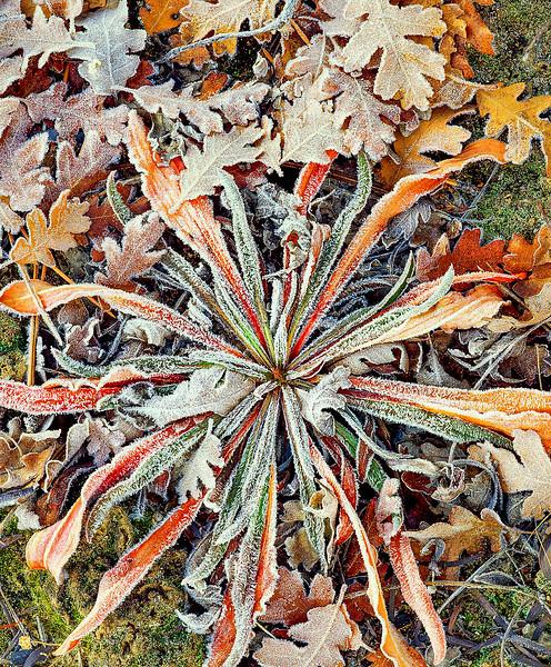 Autumn Primrose