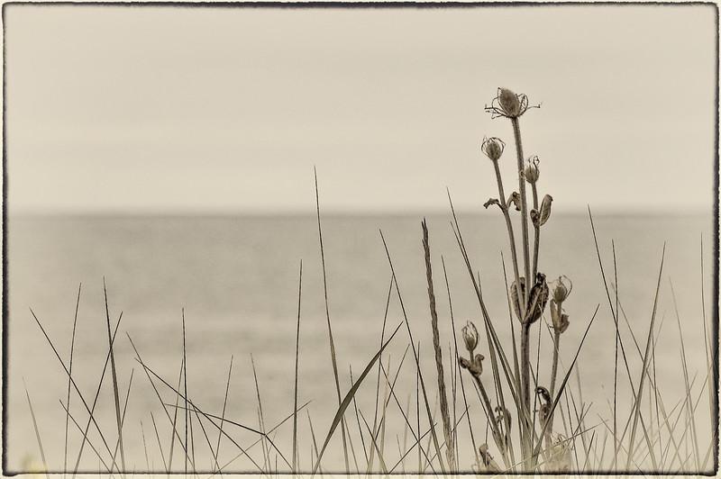 Coastal Thistles