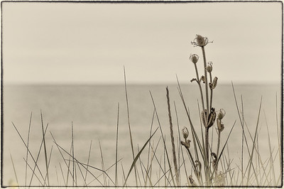 Coastal Thistles