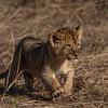 Lion cup II - Serengeti 2021