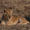 Lion cup I - Serengeti 2021