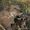 Roar - Serengeti 2021