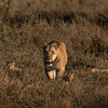Hide and seek - Serengeti 2021