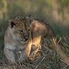 Little ambush hunter - Serengeti 2021