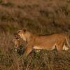 Mother's love - Serengeti 2021