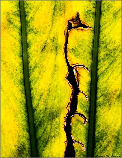 Leaf -cum-Petrified Giraffe  . . . [7DII.8479.2017]