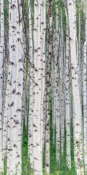 Aspen Grove Vertical Panorama