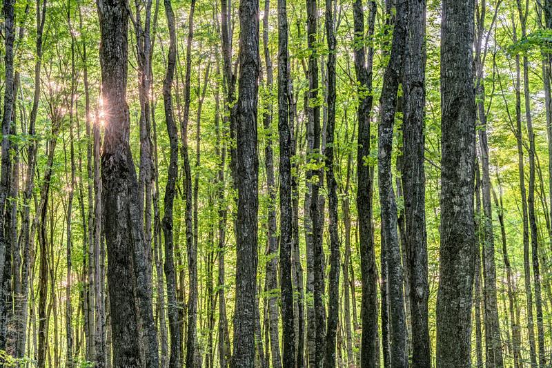 Starburst Forest