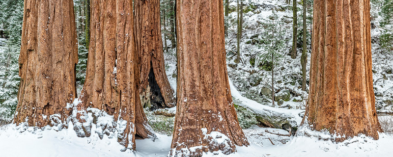 Sequoias in Snow Panorama