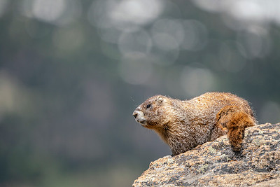 Trail Ridge Road Marmot