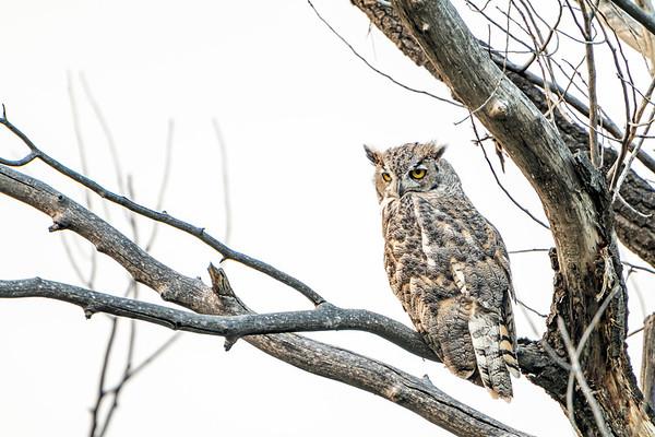 Overcast Owl