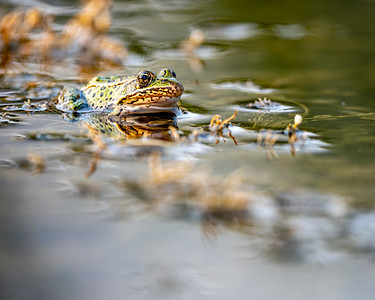 Colorado Bullfrog