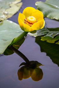 Yellow Pond Lily 2