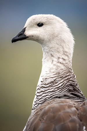Gregarious Goose
