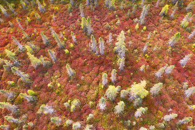 Autumnal flavor to the bogs of Adirondacks