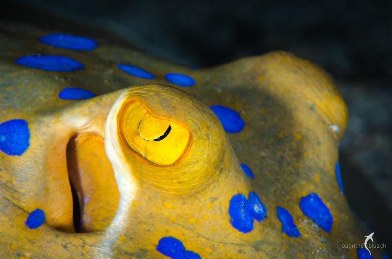 Bluespotted Ribbontail Ray, Safaga, Egypt