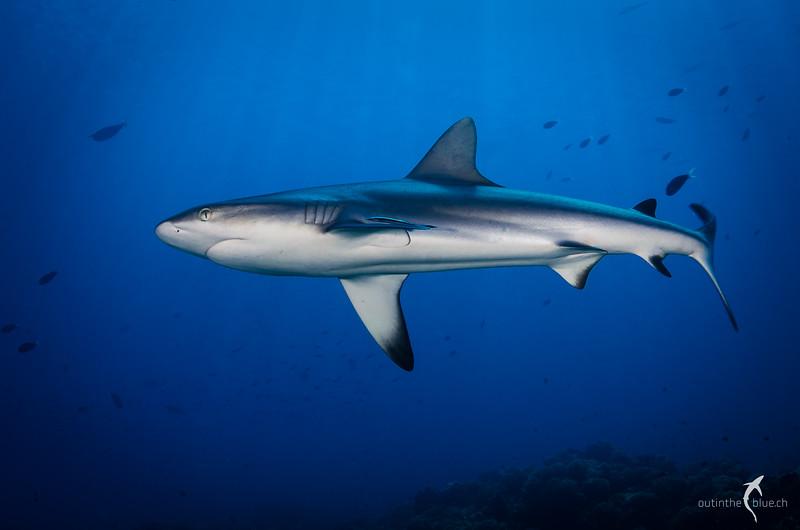 Grey Reef Shark, Tuamotu Archipelago, French Polynesia