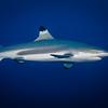 Blacktip Reef Shark, Tahiti, French Polynesia
