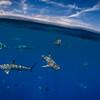 Blacktip Reef Sharks, Tahiti, French Polynesia