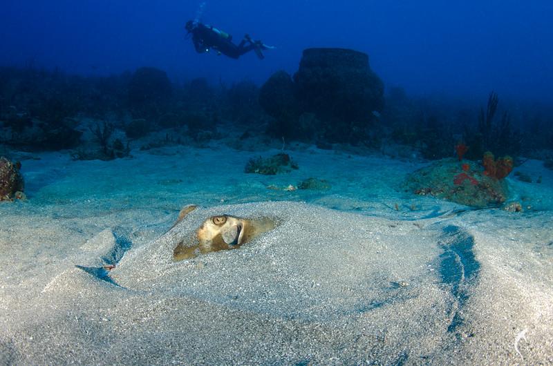 Stingray, Shark's Reef, St. Eustatius